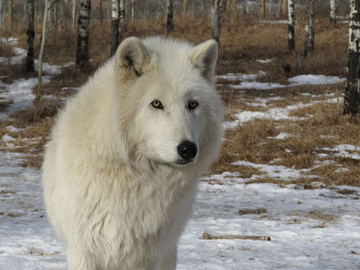 les animaux de la banquise et des cercles polaires pole sud nord arctique antarctique loup