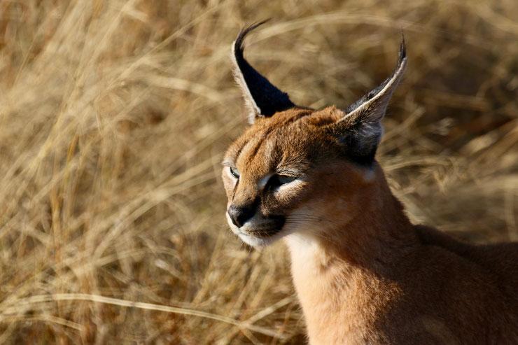 fiche animaux caracal lynx du desert taille poids habitat comportement alimentation reproduction