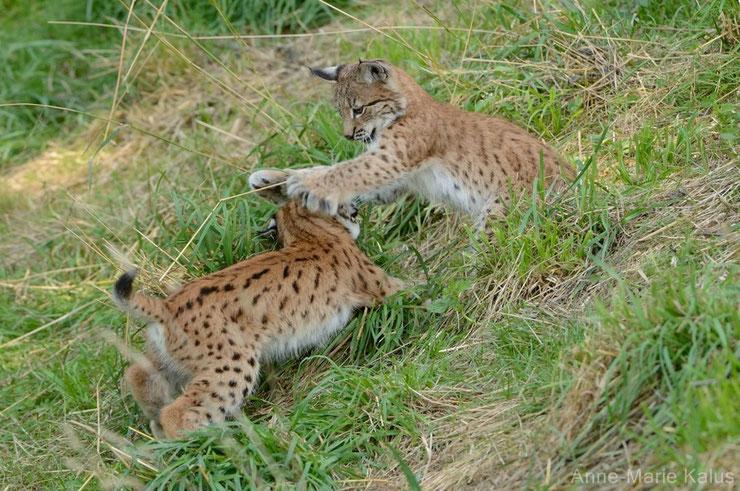 lynx boreal europeen bebe animaux animals baby lynx cute mignon