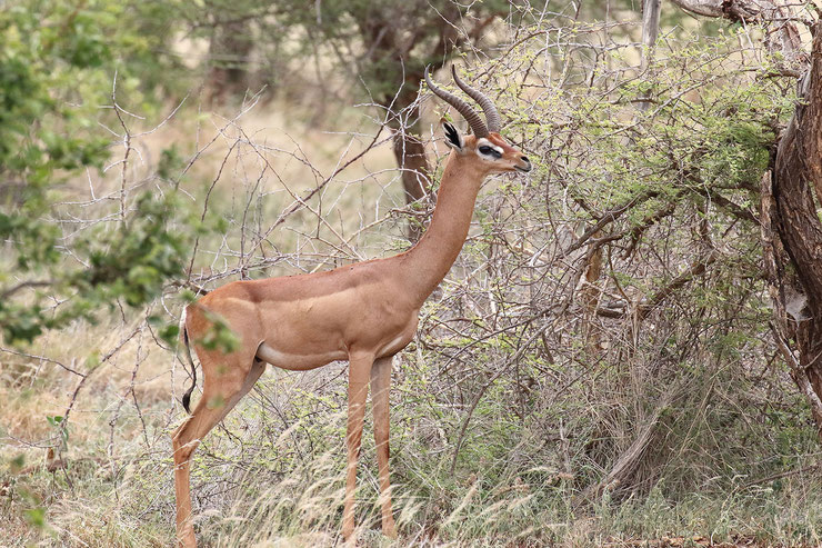 gerenuk antilope girafe fiche animaux