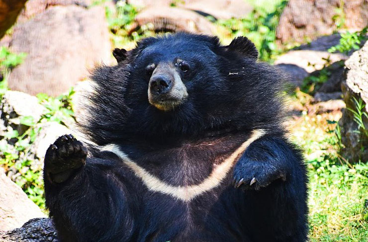 ours a collier fiche animaux animal facts himalayan black bear