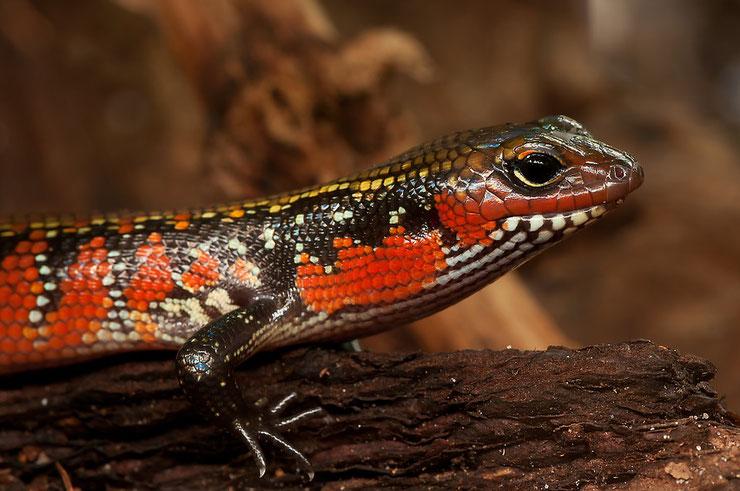 scinque de feu ou scinque a flancs rouges fiche animaux reptiles animal facts fire skink
