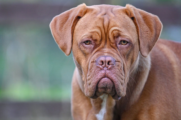 dogue de bordeaux fiche chien race caractere originie sante couleur poil  animaux