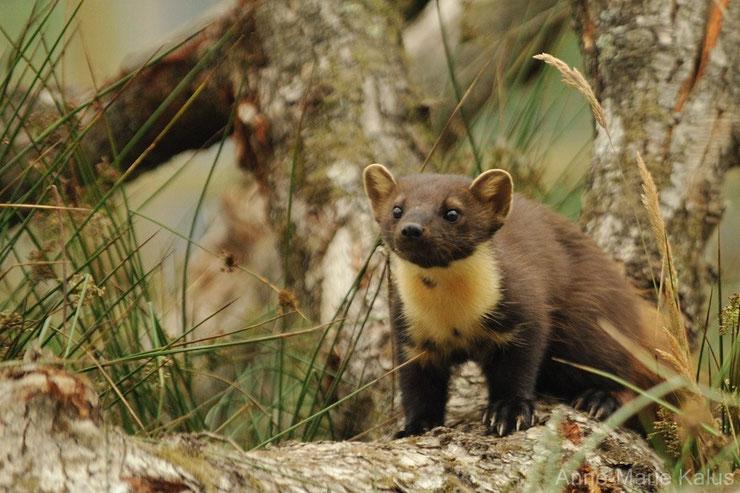martre des pins animaux nuisibles en voie de destruction