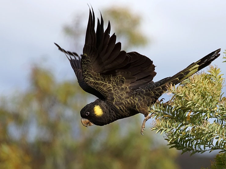 cacatoes funebre fiche oiseaux poids taille habitat animal facts bird yellow tailed black Cockatoo