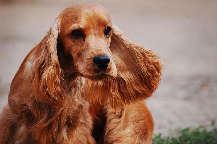 cocker spaniel anglais fiche chien animaux origine caractere comportement race poil sante