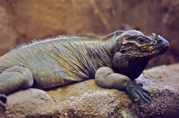 iguane rhinoceros fiche animaux reptile iguana cyclura cornuta poids taille comportement habitat alimentation reproduction