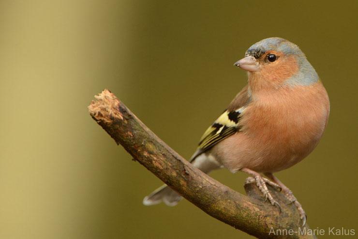 les oiseaux de nos jardins le pinson des arbres