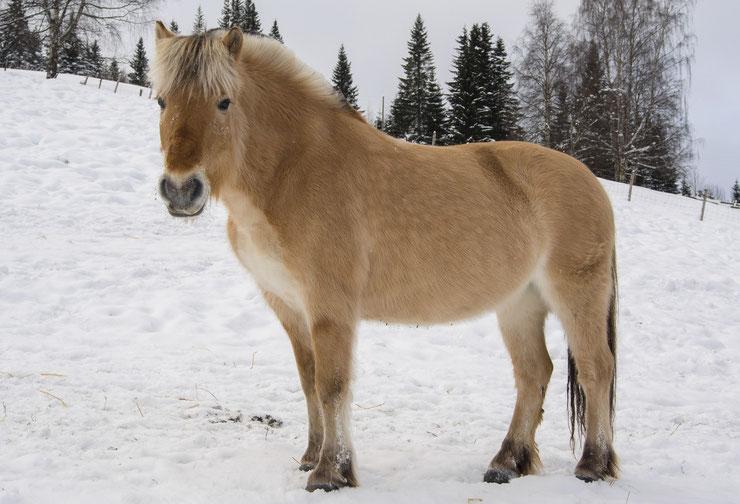 horse fjord norway fiche chevaux caractere origine sante