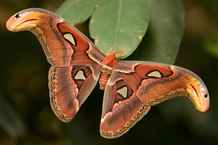 atlas fiche animaux indonesie papillon geant taille poids