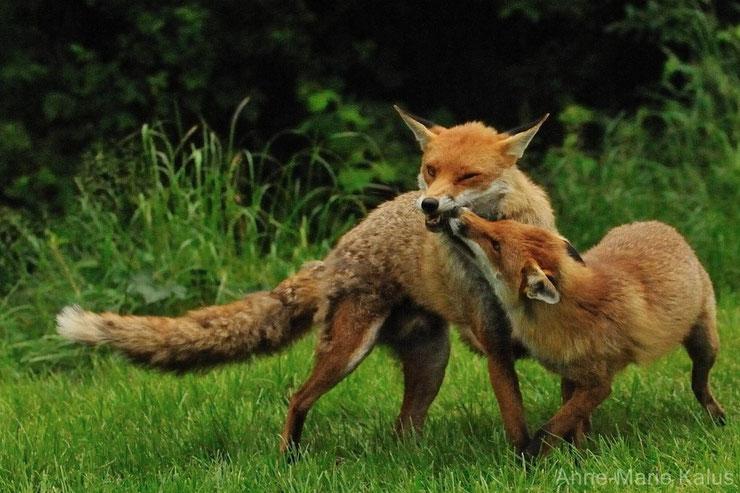 renard roux animal