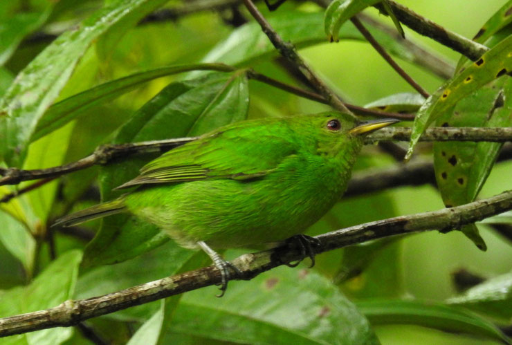 tangara emeraude femelle fiche oiseaux animaux Chlorophanes spiza animal facts bird