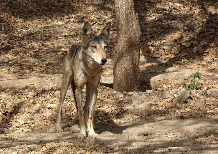 loup des indes indien fiche animaux indian wold animal facts