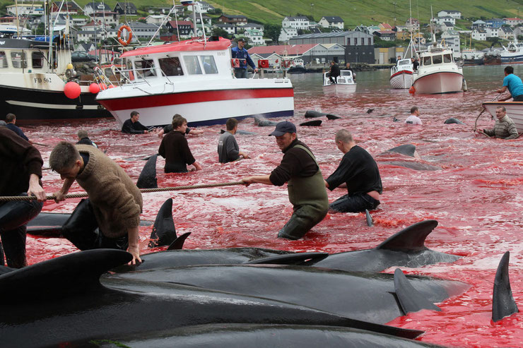 massacre dauphins pilotes  iles feroes danemark dolphin pilot