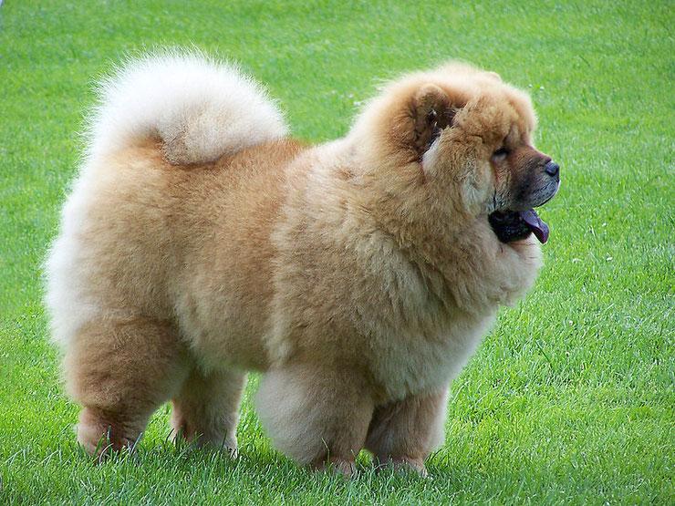 chow chow fiche chien animaux origine caractere comportement race poil sante