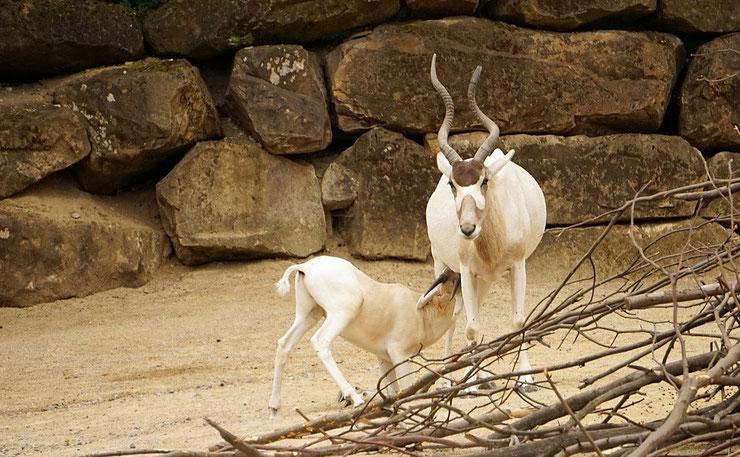 fiche animaux addax mammiferes bovides afrique