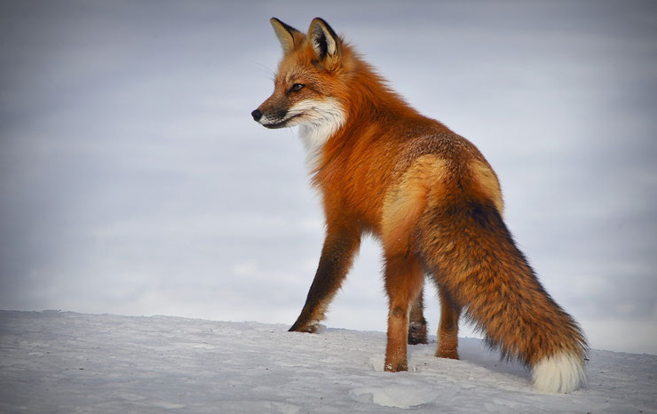 renard roux dans la neige europe