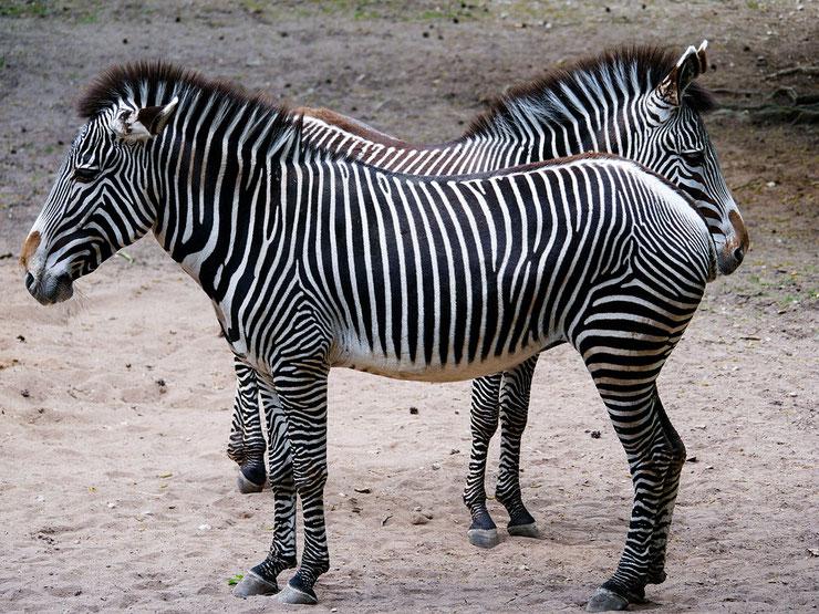 zebre de grevy animaux afrique equides rayures