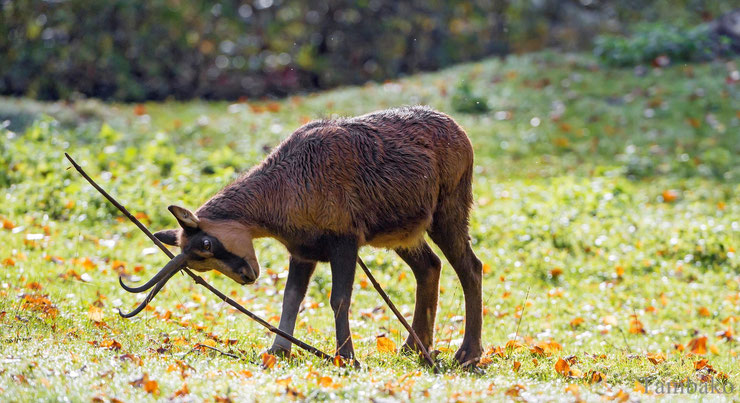caprines definition vocabulaire des animaux lexique animalier chamois chevre bouquetin