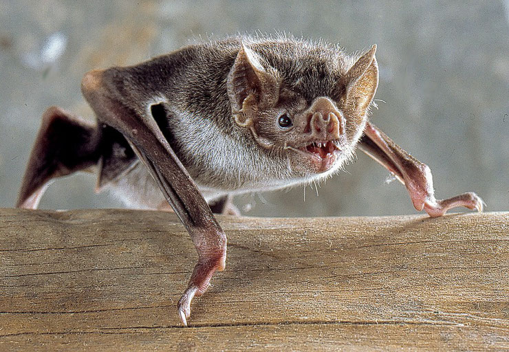 vampire azzara mythe realite dracula  habitat repartition alimentation poids taille reproduction