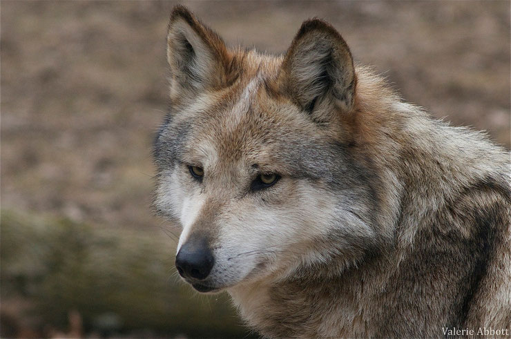 loup du mexique fiche animaux canides animal fact mexican wolf