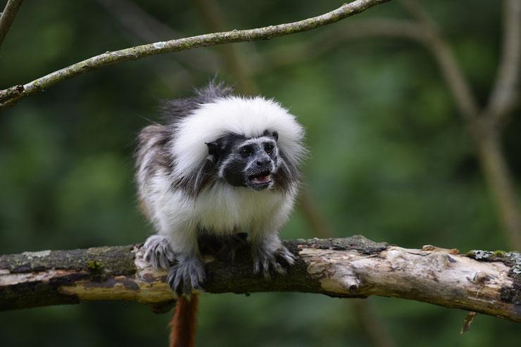 pinche a crete blanche fiche animaux singe
