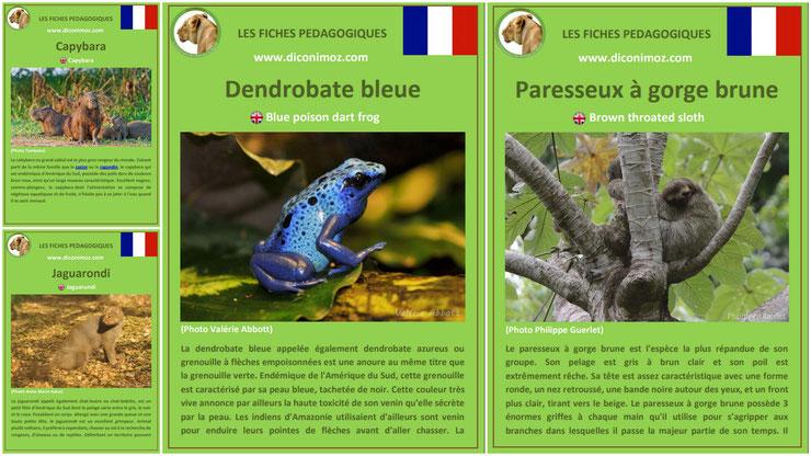 fiches animaux amazonie pdf a telecharger et à imprimer pour l'ecole ou la maison  dendrobate bleue paresseux a gorge brune capybara jaguarondi animal facts