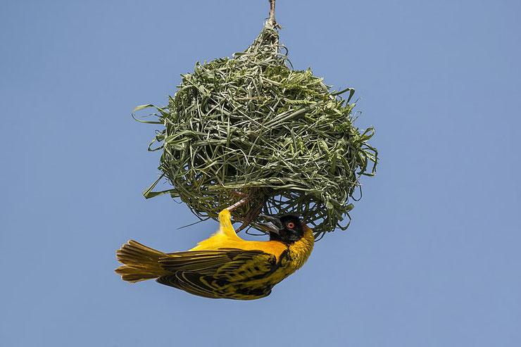 tisserin gendarme fiche oiseaux afrique poids taille longevite habitat distribution