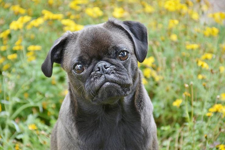 carlin noir fiche identification chien caractere couleur origine conseil