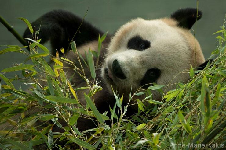 panda geant fiche animaux taille poids alimentation habitat longevite comportement