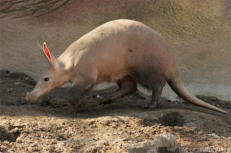 orycterope du cap cochon de terre fiche animaux afrique animal fact aardvark