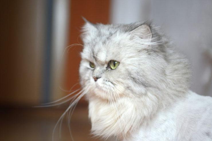 chat persan fiche animaux origine caractere sante couleur