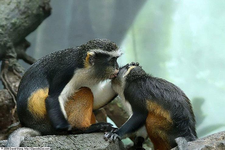 wolf's mona monkey cercopithecus wolfi facts animal cercopitheque singe primate