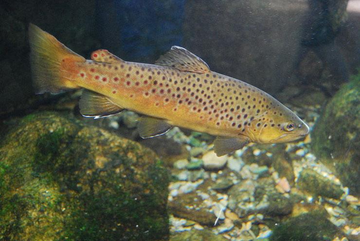 truite fario fiche poisson brown trout fact fish animal river caracteristique habitat alimentation