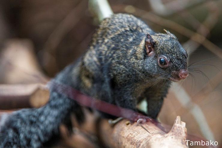 ecureuil du yucatan fiche aanimaux mammiferes sauvages amerique du sud mexique belize guatemala