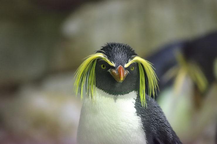 gorfou sauteur fiche oiseaux marins animaux