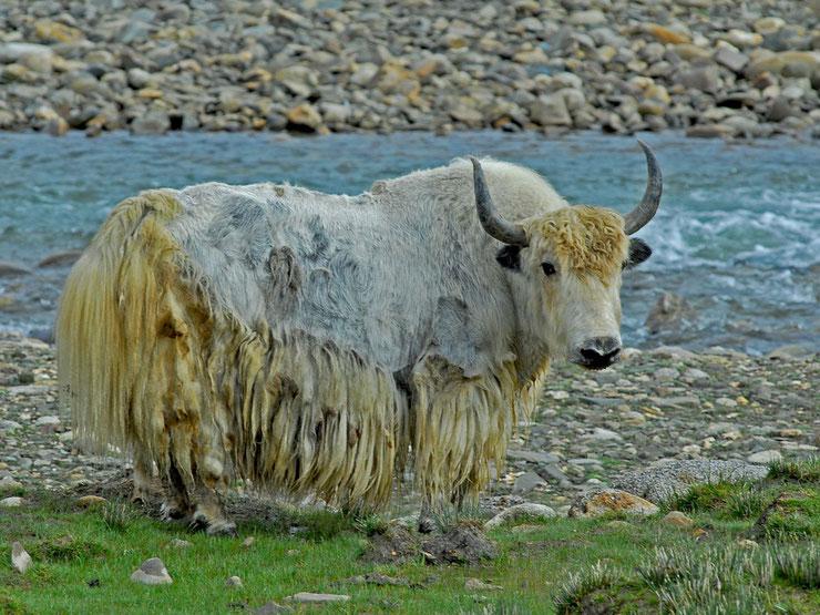 les animaux du tibet yack
