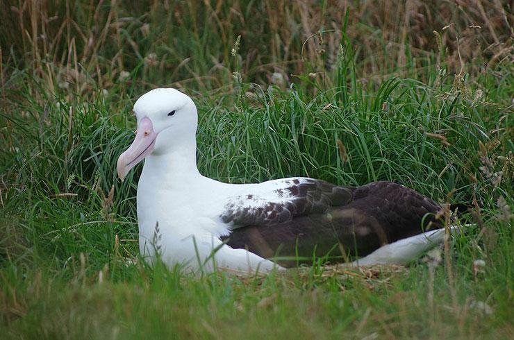 albatros royal fiche animaux oiseaux