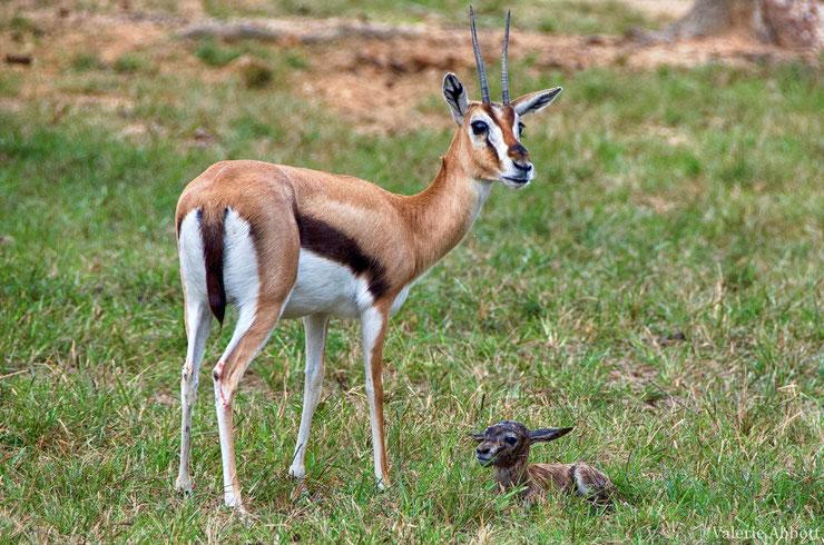 les antilopes d'Afrique gazelle de thomson fiches animaux thematique habitat repartition poids taille alimentation reproduction