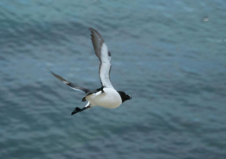 petit pingouin en vol alca torda razorbill fly