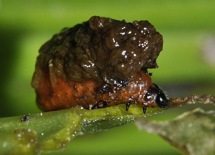 larve criocere du lis lys fiche animaux insectes devastateur especes invasives traitement biologiques
