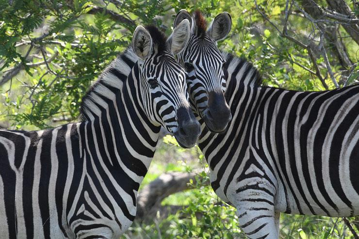 couple de zebres afrique animaux amoureux rayures