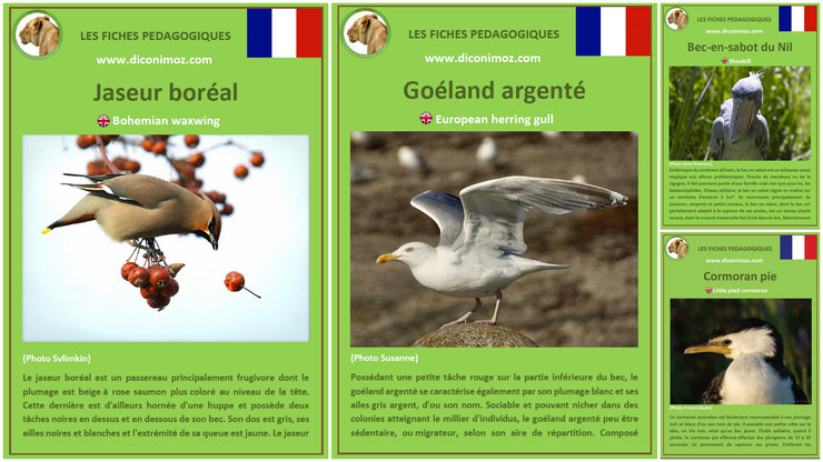 fiches animaux oiseaux à telecharger et a imprimer pdf download animal facts bird jaseur boreal goeland argente bec en sabot du nil cormoran pie