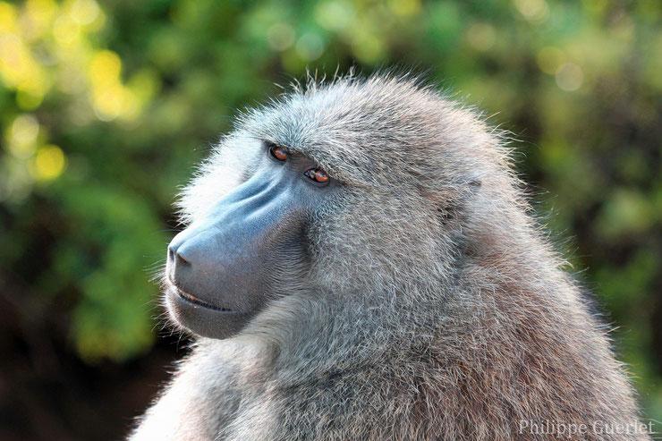 babouin olive fiche animaux afrique singe primate