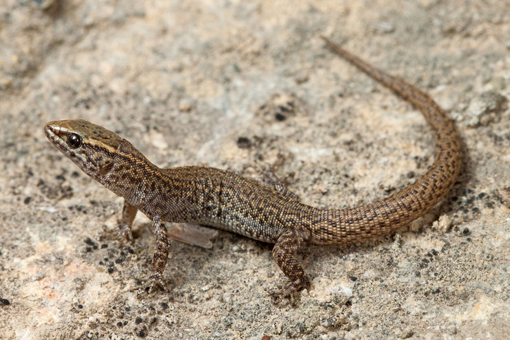 xantusie du desert  fiche animaux reptiles lezard de nuit  animal facts desert night lizard xantusia vigilis