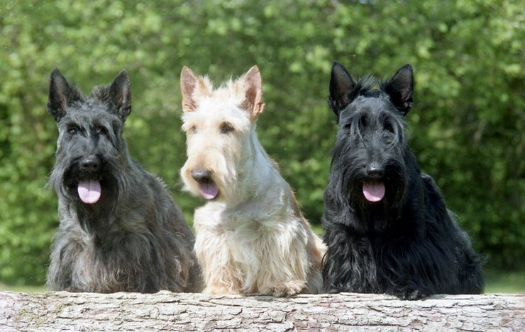 fiche chien race scottish terrier whisky blanck and white comportement caractere origine