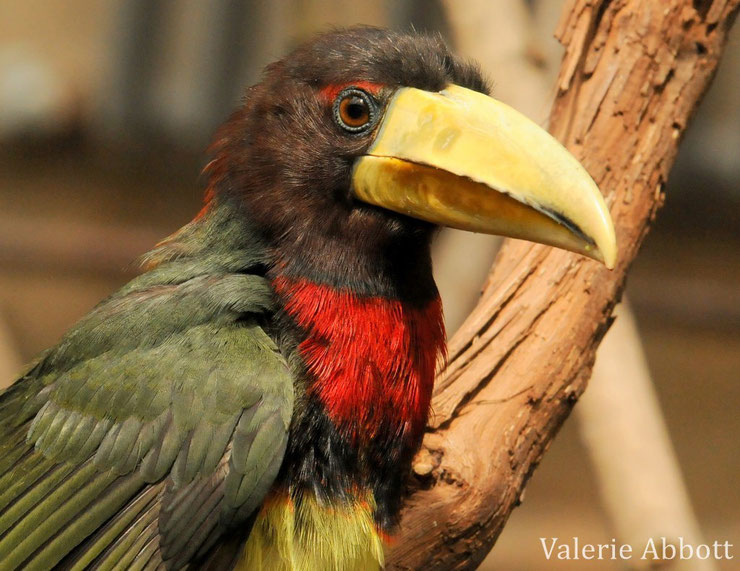 aracari azara fiche animaux oiseaux amazonie  taille poids alimentation reproduction