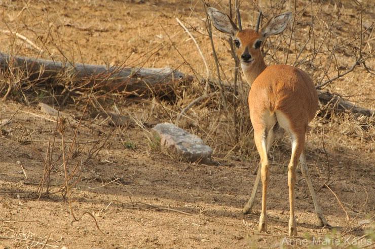 es antilopes d'Afrique steenbok fiches animaux thematique habitat repartition poids taille alimentation reproduction