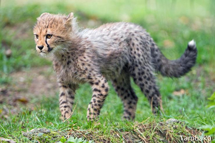 bebe animaux guepard mignon animals cute baby cheetah