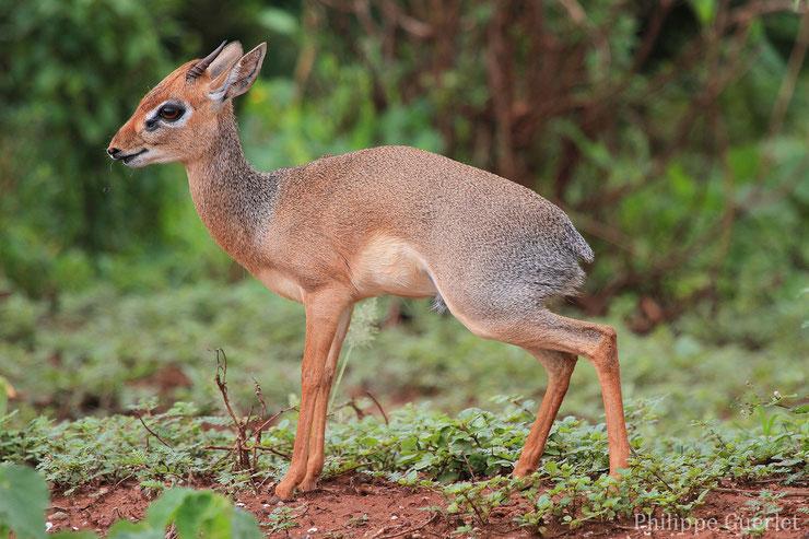 les antilopes d'Afrique dik dik fiches animaux thematique habitat repartition poids taille alimentation reproduction